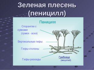 Зеленая плесень (пеницилл)