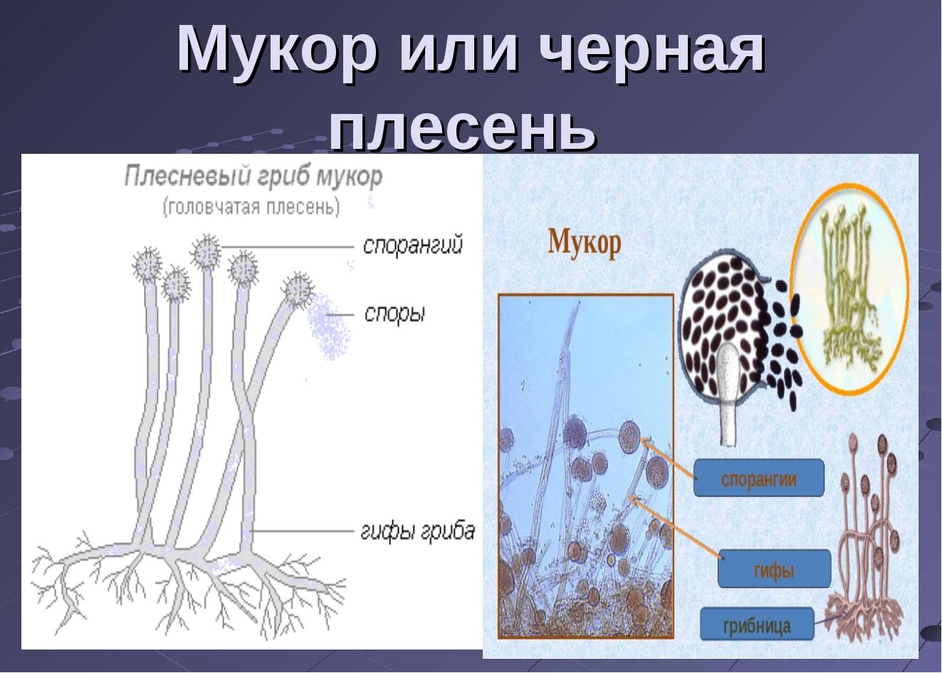 картинки гриба мукор каталоге можно ознакомиться