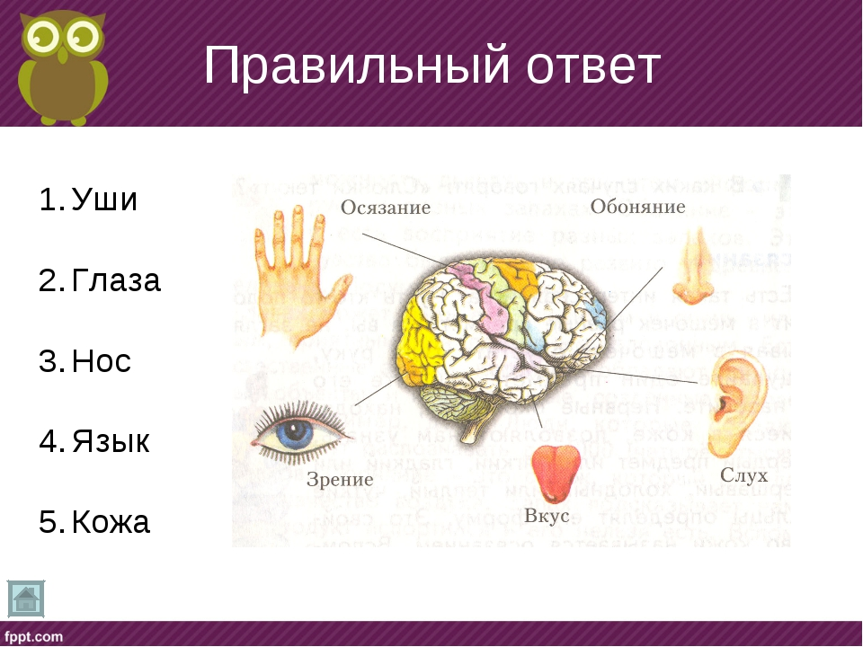 Правильный ответ Уши Глаза Нос Язык Кожа