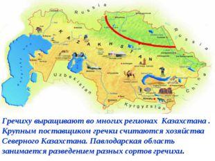 Гречиху выращивают во многих регионах Казахстана . Крупным поставщиком гречк