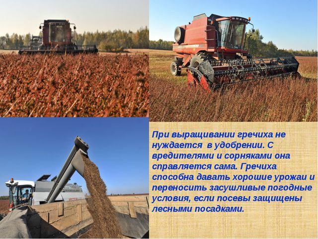 При выращивании гречиха не нуждается в удобрении. С вредителями и сорняками о...