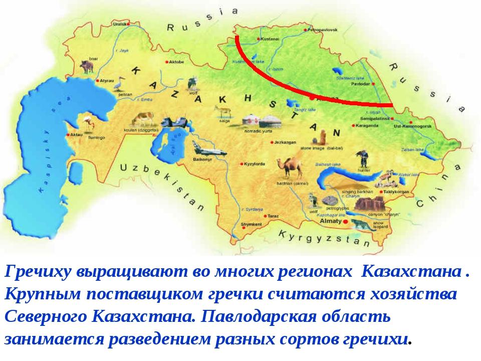Гречиху выращивают во многих регионах Казахстана . Крупным поставщиком гречк...