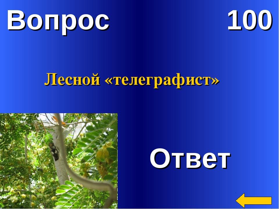 Вопрос 100 Ответ Лесной «телеграфист»