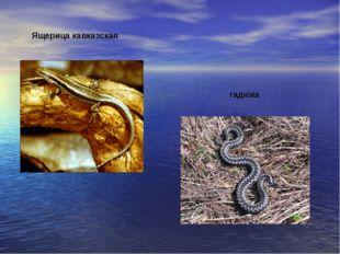 Ящерица кавказская гадюка