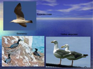 птицы Бакланы Чайка морская Буревестник