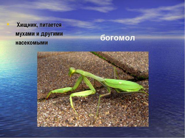 Хищник, питается мухами и другими насекомыми богомол