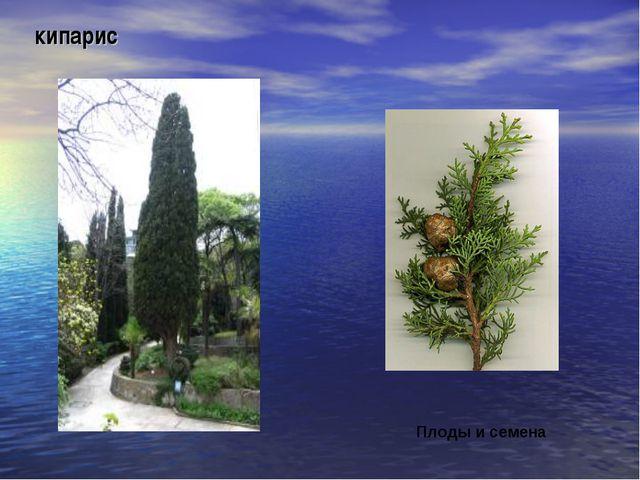 кипарис Плоды и семена