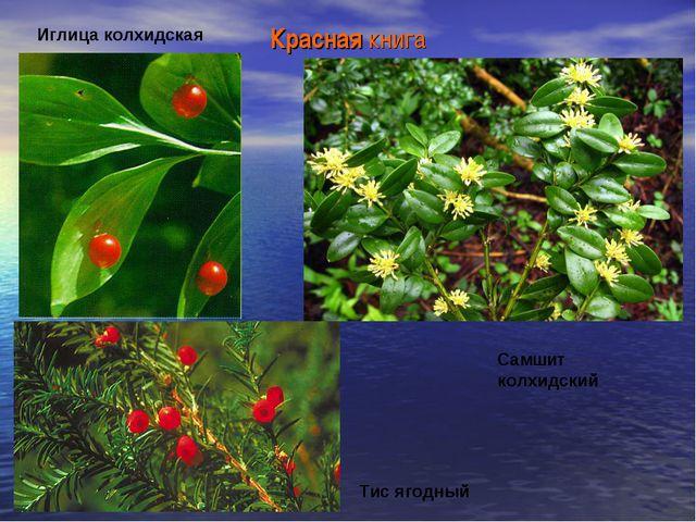 Красная книга Иглица колхидская Самшит колхидский Тис ягодный
