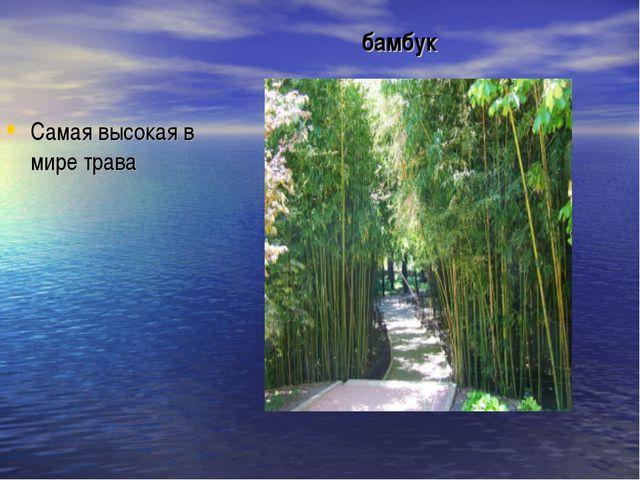 бамбук Самая высокая в мире трава