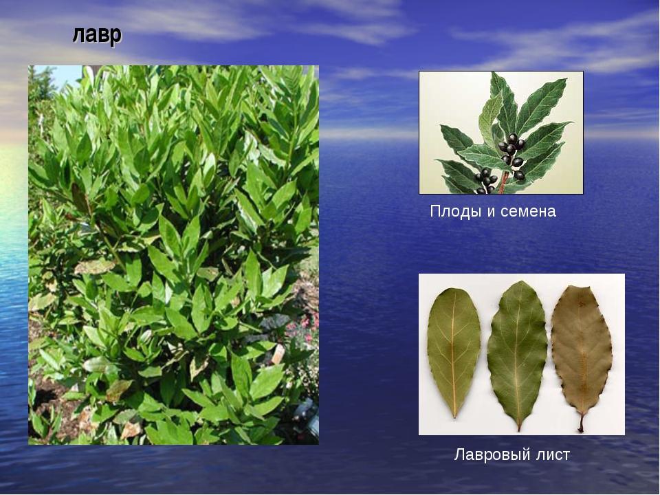 лавр Плоды и семена Лавровый лист