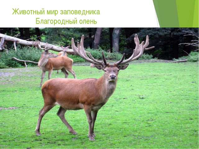 Животный мир заповедника Благородный олень