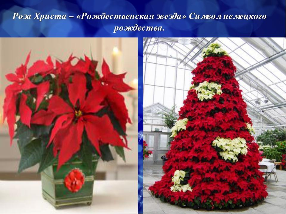 Роза Христа – «Рождественская звезда» Символ немецкого рождества.