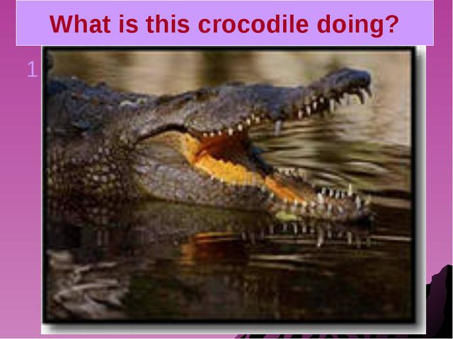 What is this crocodile doing? 1