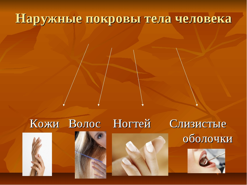 Наружные покровы тела человека Кожи Волос Ногтей Слизистые оболочки