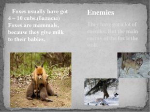 Foxes usually have got 4 – 10 cubs.(баласы) Foxes are mammals, because they