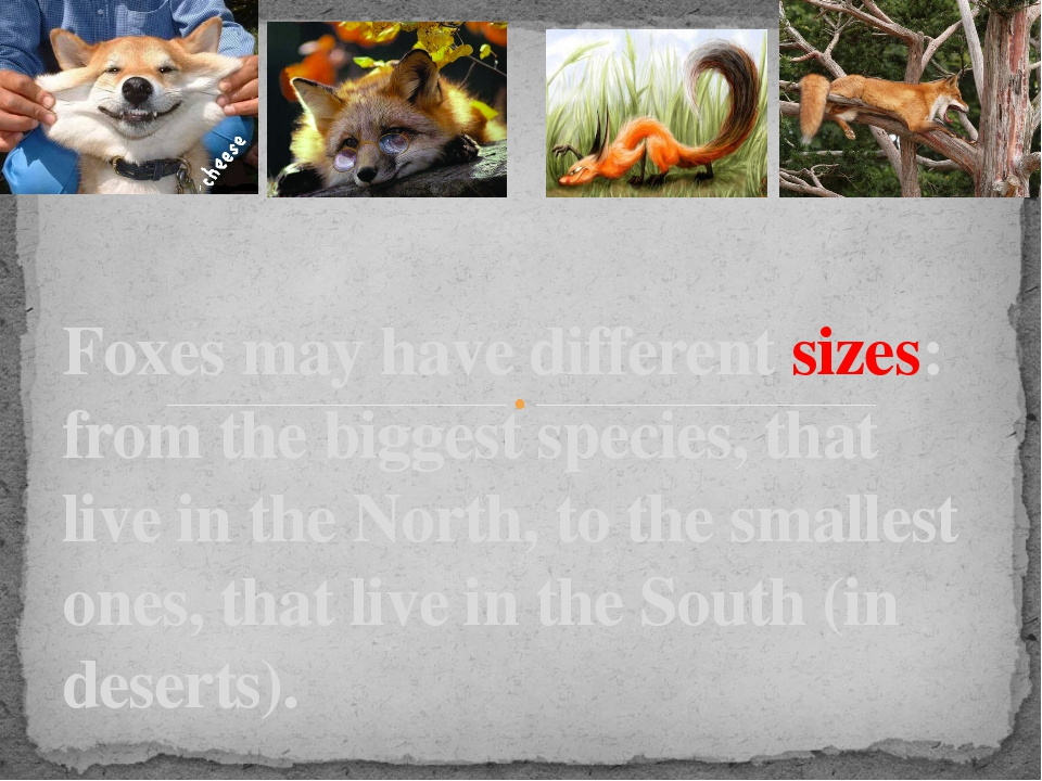 Foxes may have different sizes: from the biggest species, that live in the No...