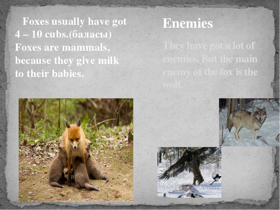 Foxes usually have got 4 – 10 cubs.(баласы) Foxes are mammals, because they...