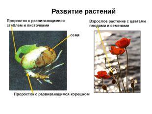 Развитие растений семя Проросток с развивающимся корешком Проросток с развива