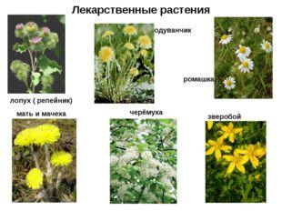 Лекарственные растения лопух ( репейник) мать и мачеха одуванчик ромашка черё