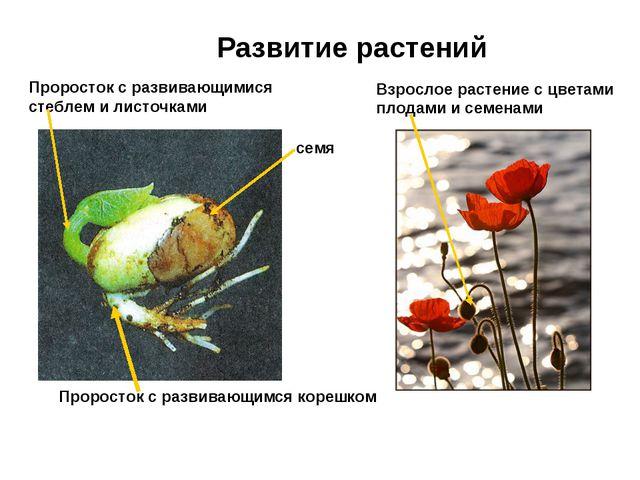 Развитие растений семя Проросток с развивающимся корешком Проросток с развива...