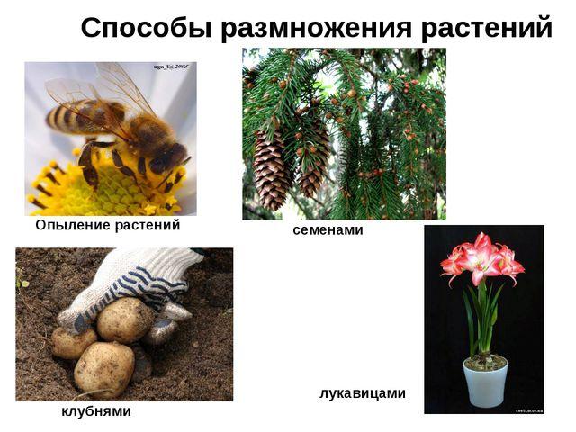Способы размножения растений Опыление растений семенами клубнями лукавицами