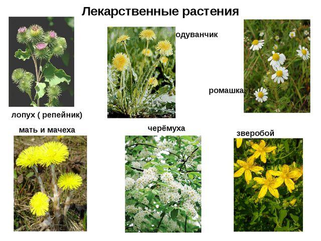 Лекарственные растения лопух ( репейник) мать и мачеха одуванчик ромашка черё...