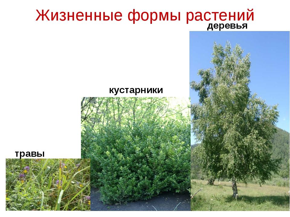 Жизненные формы растений травы кустарники деревья