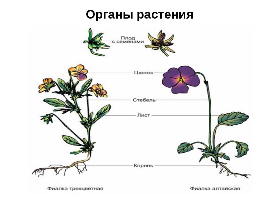 Органы растения