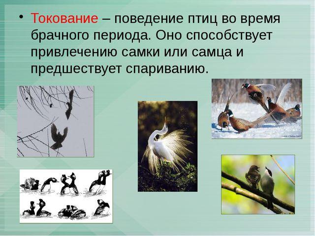 Токование – поведение птиц во время брачного периода. Оно способствует привле...
