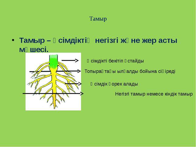 Тамыр Тамыр – өсімдіктің негізгі және жер асты мүшесі. Өсімдікті бекітіп ұст...