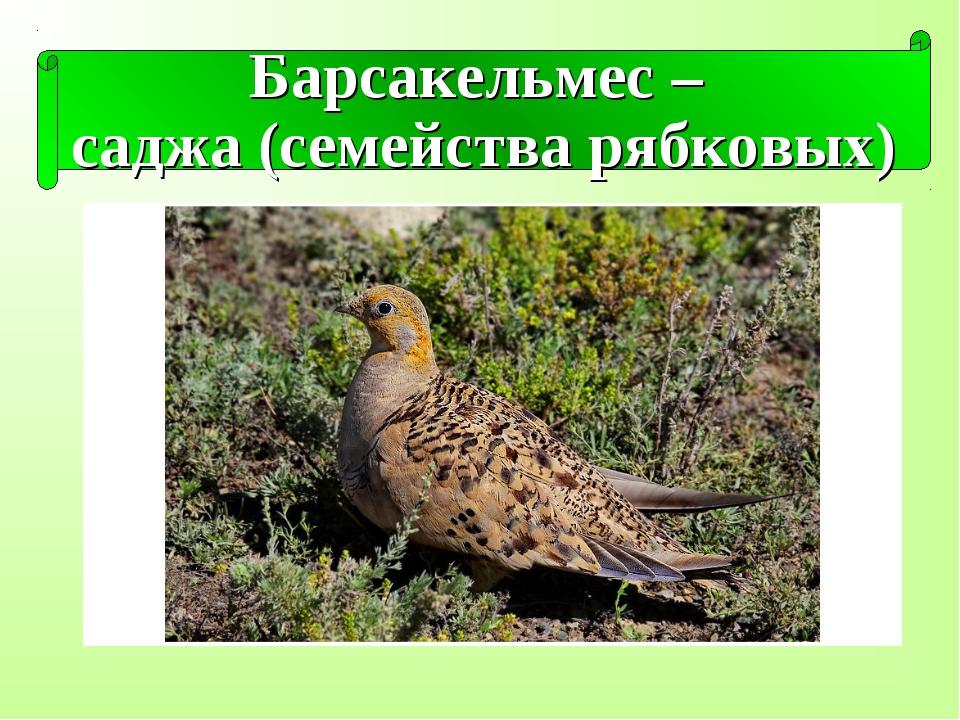 Барсакельмес – саджа (семейства рябковых)