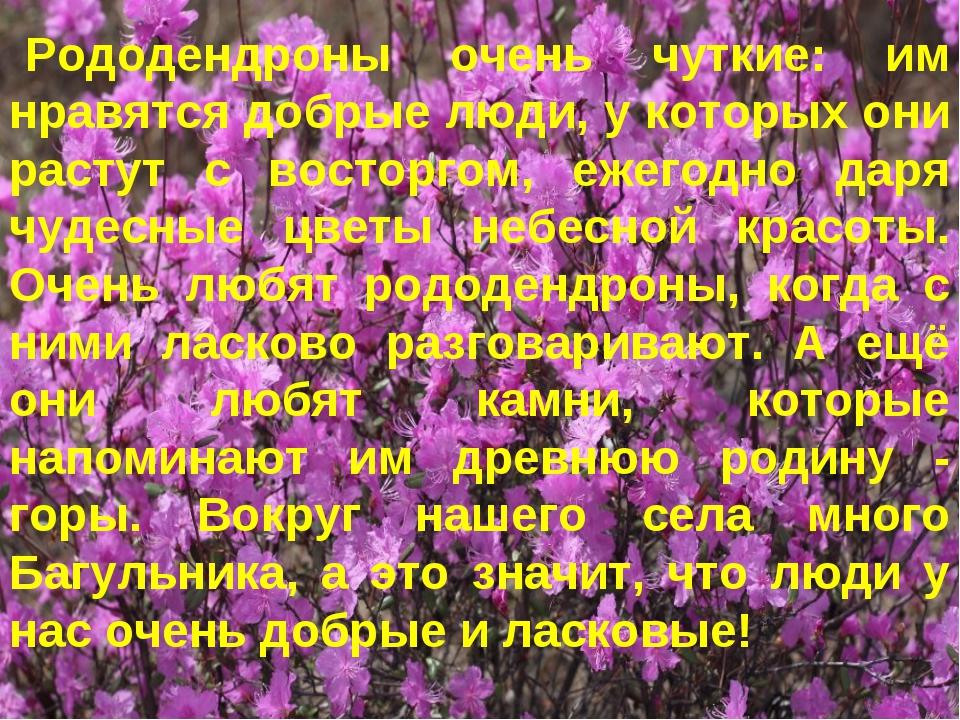 Рододендроны очень чуткие: им нравятся добрые люди, у которых они растут с во...