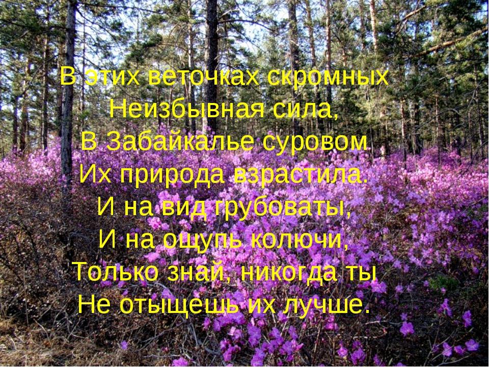 В этих веточках скромных Неизбывная сила, В Забайкалье суровом Их природа взр...