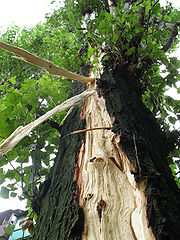 http://upload.wikimedia.org/wikipedia/ru/thumb/f/f1/Lightning_damage_to_tree_in_Makeevka_Ukraine_2008_2.jpg/180px-Lightning_damage_to_tree_in_Makeevka_Ukraine_2008_2.jpg