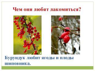 Чем они любят лакомиться? Бурундук любит ягоды и плоды шиповника.