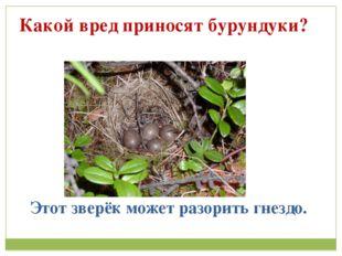 Какой вред приносят бурундуки? Этот зверёк может разорить гнездо.