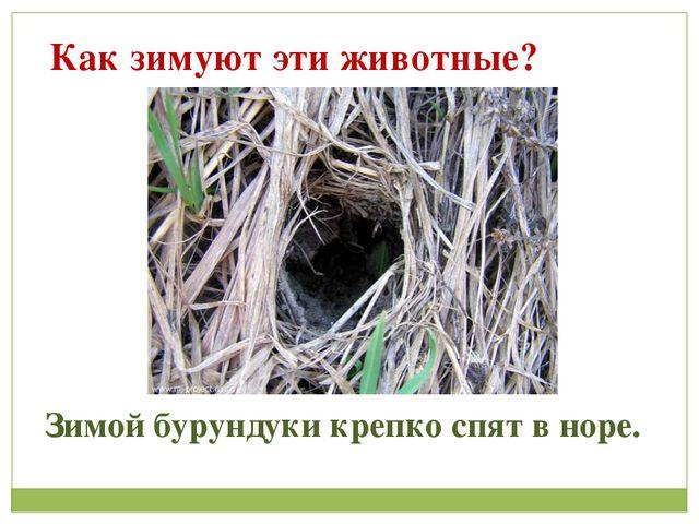 Как зимуют эти животные? Зимой бурундуки крепко спят в норе.