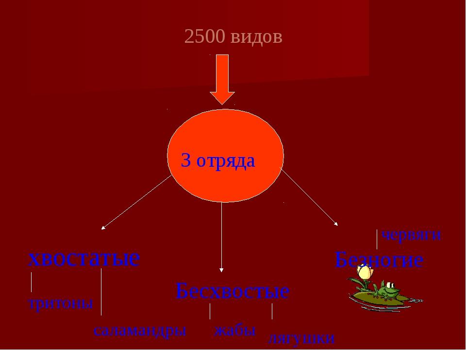 2500 видов хвостатые Бесхвостые тритоны 3 отряда Безногие лягушки жабы салам...