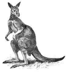kangaroo_3.png