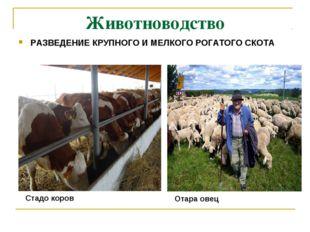 Животноводство РАЗВЕДЕНИЕ КРУПНОГО И МЕЛКОГО РОГАТОГО СКОТА Отара овец Стадо