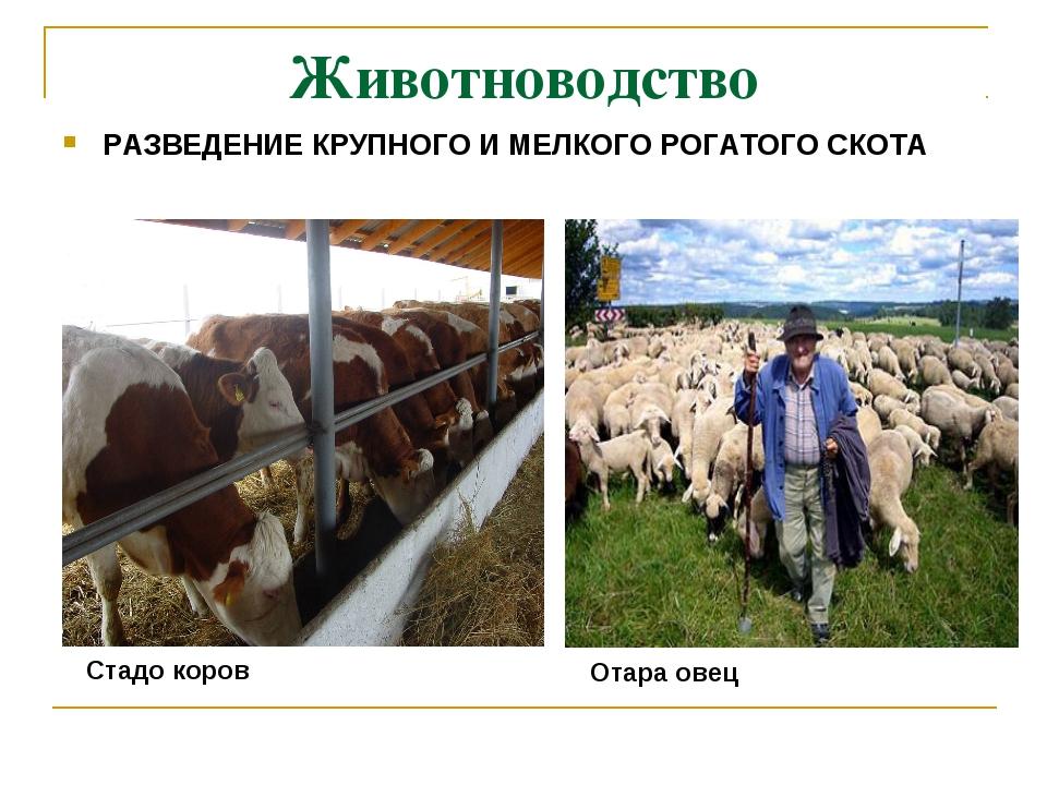 Животноводство РАЗВЕДЕНИЕ КРУПНОГО И МЕЛКОГО РОГАТОГО СКОТА Отара овец Стадо...