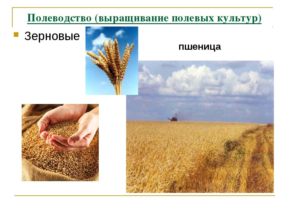 Полеводство (выращивание полевых культур) Зерновые пшеница