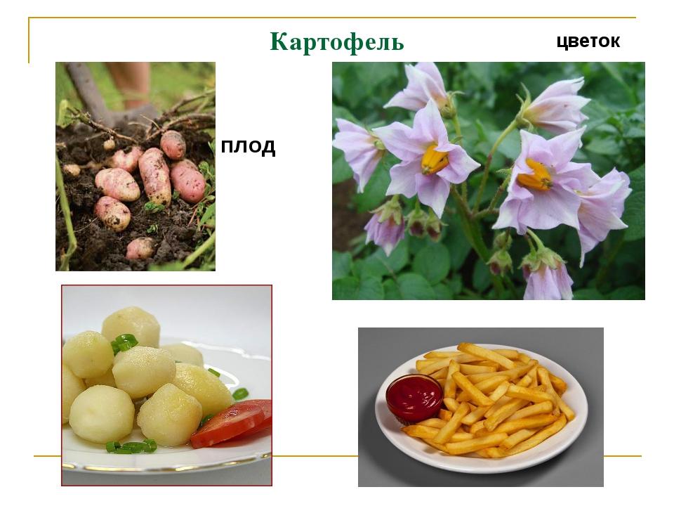 Картофель цветок плод