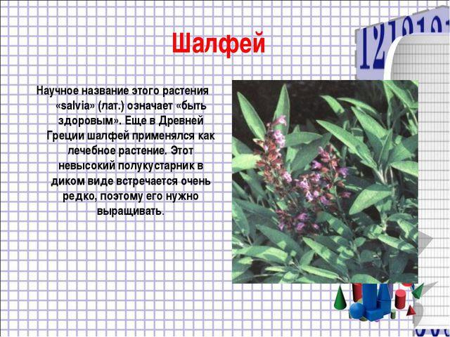 Шалфей Научное название этого растения «salvia» (лат.) означает «быть здоровы...