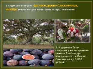 В Индии растёт не одно фиговое дерево (смоковница, инжир), возраст которых на