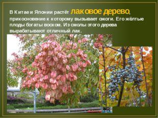 В Китае и Японии растёт лаковое дерево, прикосновение к которому вызывает ожо