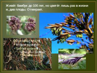 Живёт бамбук до 100 лет, но цветёт лишь раз в жизни и, дав плоды. Отмирает.