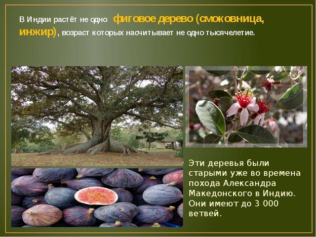 В Индии растёт не одно фиговое дерево (смоковница, инжир), возраст которых на...