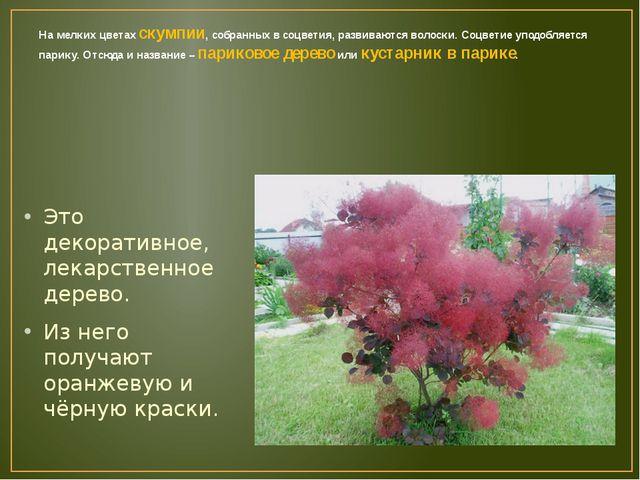 На мелких цветах скумпии, собранных в соцветия, развиваются волоски. Соцветие...
