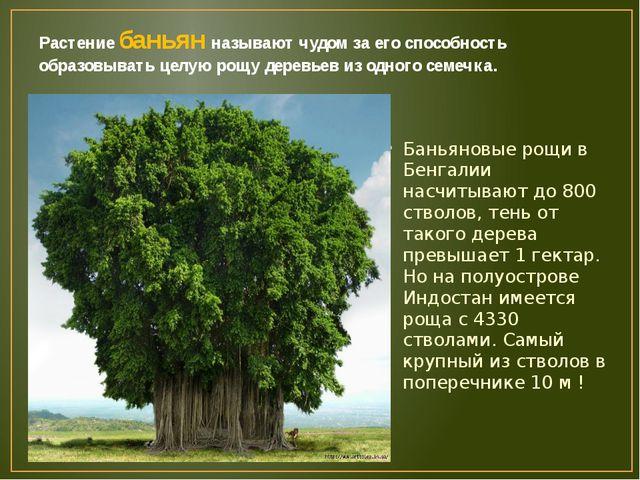Растение баньян называют чудом за его способность образовывать целую рощу дер...